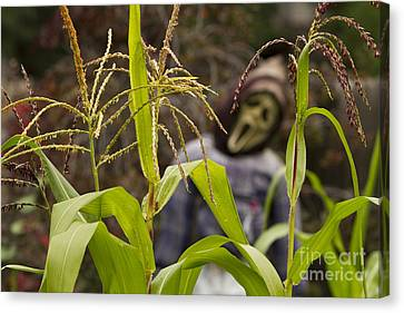 Scarecrow In The Corn Canvas Print by James BO  Insogna