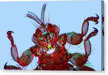 Sheep Ked, Light Micrograph Canvas Print by Dr Keith Wheeler