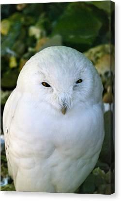 Snowy Owl Canvas Print by Design Windmill