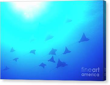 Spotted Eagle Rays Canvas Print by Sami Sarkis