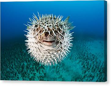 Spotted Porcupinefish Canvas Print by Dave Fleetham