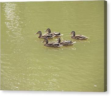 Swimming Ducks Canvas Print by Corinne Elizabeth Cowherd