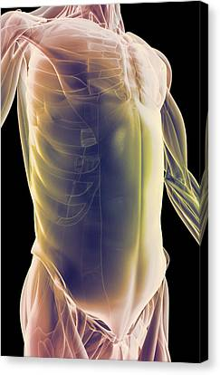 The Muscles Of The Trunk Canvas Print by MedicalRF.com