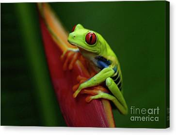 Tree Frog 19 Canvas Print by Bob Christopher