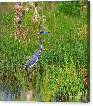 Tricolored Heron Canvas Print by Louise Heusinkveld
