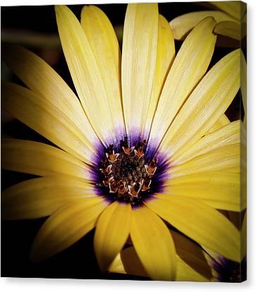 Yellow Daisy Canvas Print by David Patterson