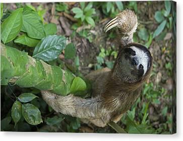 Brown-throated Three-toed Sloth Canvas Print by Suzi Eszterhas
