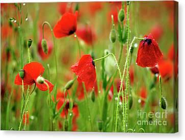 Field Of Poppies. Canvas Print by Bernard Jaubert