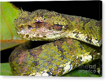 Eyelash Viper Canvas Print by Dante Fenolio
