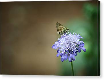 1205-8785 Skipper On A Butterfly Blue Pincushion Flower Canvas Print by Randy Forrester