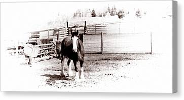 1900  Clydesdale Horse Canvas Print by Marcin and Dawid Witukiewicz