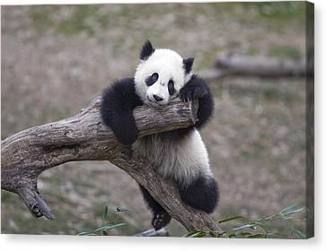 A Baby Panda Plays On A Branch Canvas Print by Taylor S. Kennedy