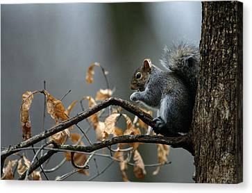 An Eastern Gray Squirrel Sciurus Canvas Print by Chris Johns