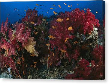 Anthias Fish Swim Near A Reef Wall Canvas Print by Tim Laman