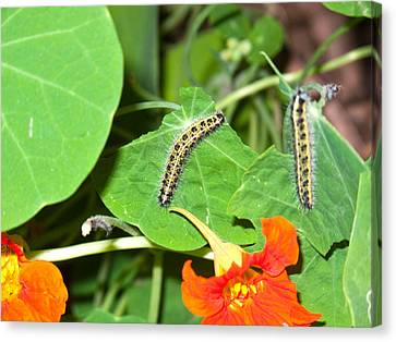 2 Caterpillars Competing With Each Other To Eat As Many Green Leaves As Possible Canvas Print by Ashish Agarwal