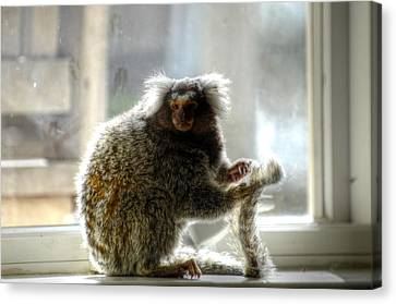 Chewy The Marmoset Canvas Print by Barry R Jones Jr