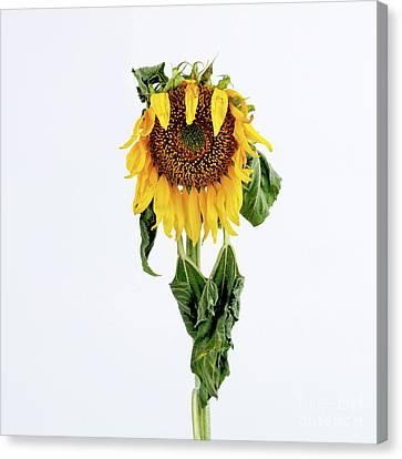 Close Up Of Sunflower. Canvas Print by Bernard Jaubert