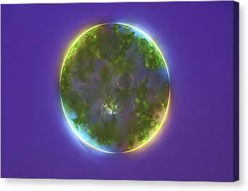 Green Alga, Light Micrograph Canvas Print by Frank Fox
