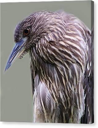Juvenile Black Crowned Night Heron Canvas Print by Paulette Thomas