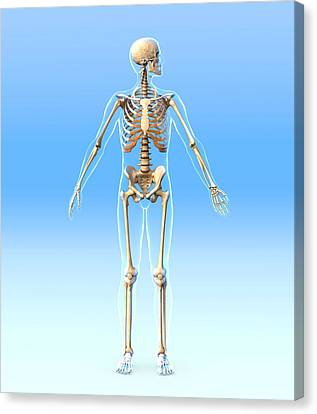 Male Skeleton, Artwork Canvas Print by Roger Harris
