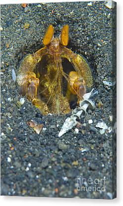 Orange Mantis Shrimp In Its Burrow Canvas Print by Steve Jones