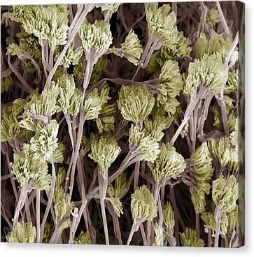 Penicillium Fungus, Sem Canvas Print by Steve Gschmeissner