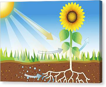 Photosynthesis, Artwork Canvas Print by David Nicholls