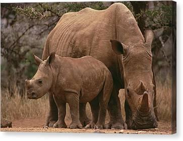 White Rhinoceros Ceratotherium Simum Canvas Print by Gerry Ellis