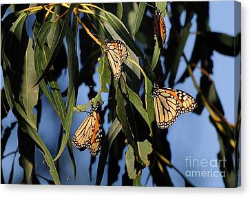 Butterflies Canvas Print by Marc Bittan