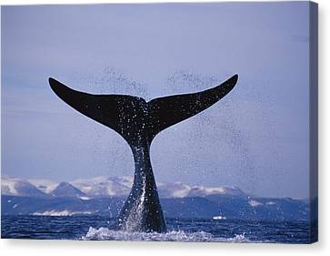 A Bowhead Whale Also Known Canvas Print by Paul Nicklen