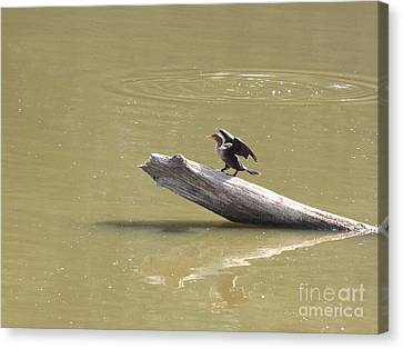 Double-crested Cormorant Canvas Print by Jack R Brock