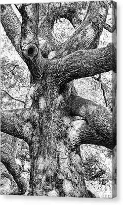 Granby Oak Canvas Print by HD Connelly