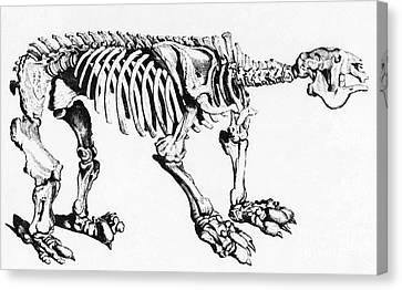 Megatherium, Extinct Ground Sloth Canvas Print by Science Source