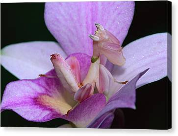 Orchid Mantis Hymenopus Coronatus Canvas Print by Thomas Marent