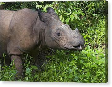 Sumatran Rhinoceros Sumatran Rhino Canvas Print by Suzi Eszterhas