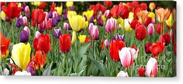 Tulip Garden University Of Pittsburgh  Canvas Print by Thomas R Fletcher