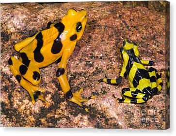 Harlequin Toad Canvas Print by Dante Fenolio
