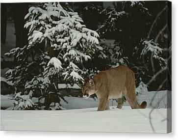 A Mountain Lion, Felis Concolor Canvas Print by Jim And Jamie Dutcher