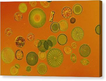 Close View Of Diatoms Canvas Print by Darlyne A. Murawski