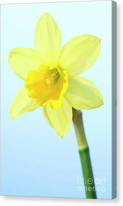 Daffodil (narcissus Sp.) Canvas Print by Lawrence Lawry