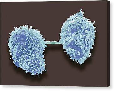 Dividing Cancer Cells, Sem Canvas Print by Steve Gschmeissner