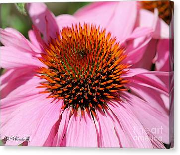 Echinacea Purpurea Or Purple Coneflower Canvas Print by J McCombie