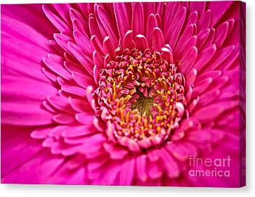 Gerbera Flower Canvas Print by Elena Elisseeva