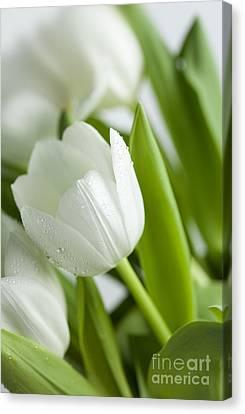 White Tulips Canvas Print by Nailia Schwarz