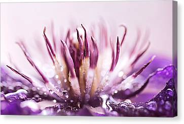 Clematis Canvas Print by Debbie Dee