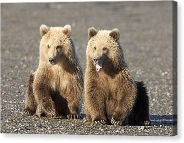 Grizzly Bear Ursus Arctos Horribilis Canvas Print by Matthias Breiter