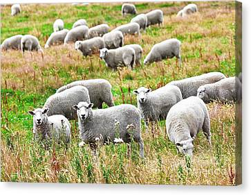 Sheeps Canvas Print by MotHaiBaPhoto Prints