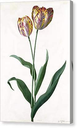 5 Tulip Tulip  Canvas Print by Georg Dionysius Ehret