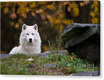 Arctic Wolf Canvas Print by Michael Cummings