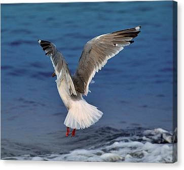 Seagull  Canvas Print by Debra  Miller